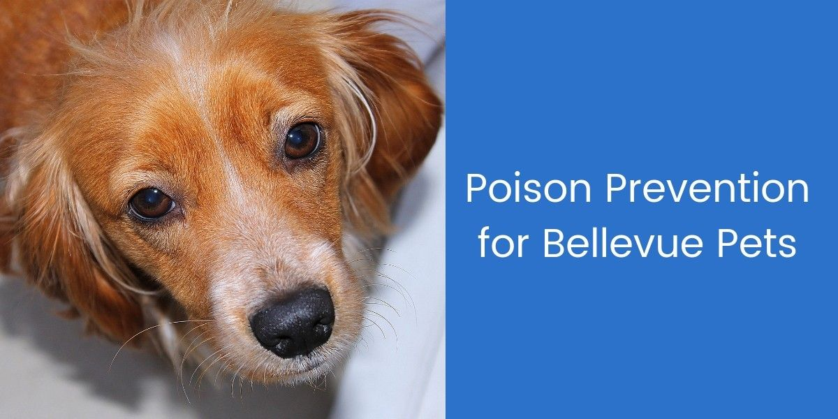 Poison-Prevention-for-Bellevue-Pets